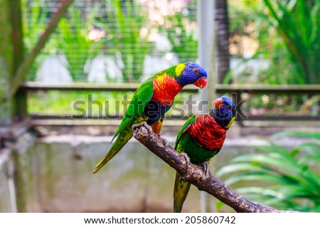 a pair of Rainbow Lorikeet