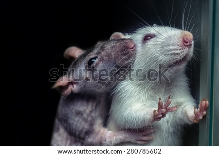 a pair of rats, gray and white rats  - stock photo