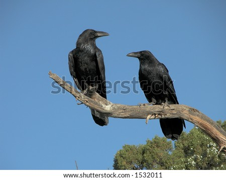 A pair of Ravens along the Utah roadside - stock photo