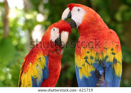 A pair of scarlet Macaws clean one another. Taken in Xcaret Mexico. - stock photo