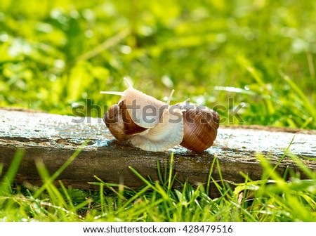 A pair of snails prepared for pairing. - stock photo