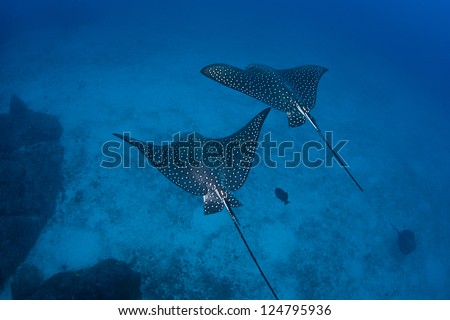 A pair of Spotted eagle rays (Aetobatus narinari) glide over a deep sand bottom near Cocos Island off Costa Rica.  The rays feed on mollusks and crustaceans that live in the sand. - stock photo