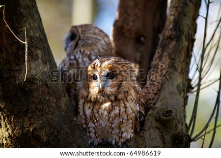 A pair of tawny owls in a old oak tree - stock photo
