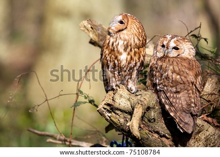 A pair of Tawny Owls in the forest - stock photo