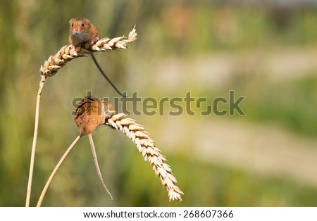 A pair of tiny Harvest Mice on ears of corn - stock photo