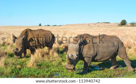 A pair of white Rhinos grazing in a green marsh face the camera