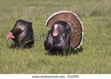 A pair of wild turkeys