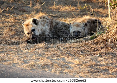 A pair of young spotted hyenas (Crocuta crocuta) in a game reserve. - stock photo