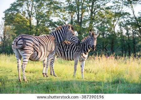 A pair of zebra grazing on green grass in front of green trees