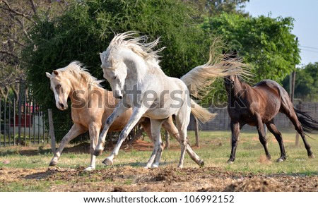 A palomino, grey Arab and a bay thoroughbred heard are galloping and chasing after one another in a grassy field with trees in the background while the wind blows their mains and tails - stock photo
