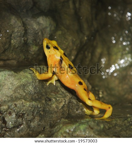 A Panamanian golden frog leaning up against a rock - stock photo