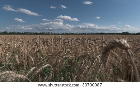 A panorama of a grainfield
