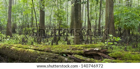 A panorama of the decay, cypress trees, knees, and swamp of Congaree National Park in South Carolina. - stock photo