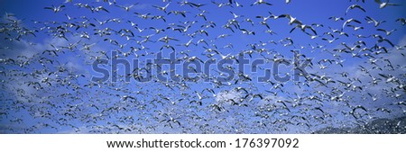 A panoramic of thousands of migrating snow geese and Sandhill cranes taking flight over the Bosque del Apache National Wildlife Refuge, near San Antonio and Socorro, New Mexico