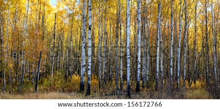 a panoramic view of a beautiful aspen forest in autumn - stock photo