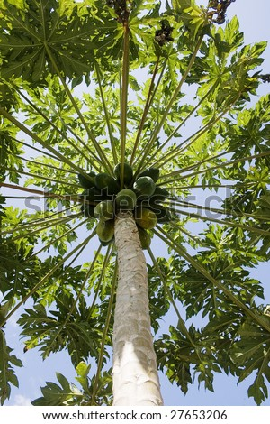 A Papaya tree loaded with fruit.  This tree grows in tropical climates.  The fruit can be eaten raw or used for dessert and milk shakes.