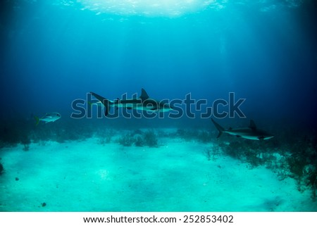 A parade of reef sharks over the shark arena - stock photo