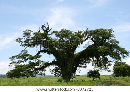 A parasitic plant attacks a large tree