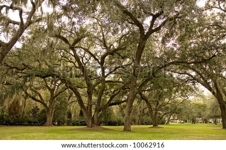 A park full of old oak trees hanging with spanish moss - stock photo
