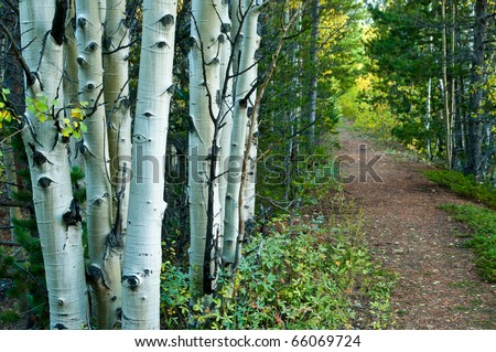 A Path In The Aspen Forest - stock photo