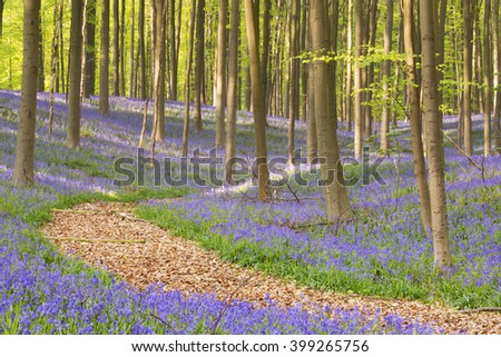 A path through a beautiful blooming bluebell forest. Photographed in the Forest of Halle (Hallerbos) in Belgium. - stock photo