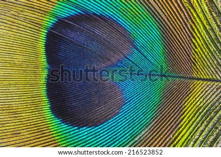 a peacock feather macro photo - stock photo