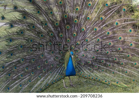 A peacock (Pavo cristatus)  with his feathers outspread