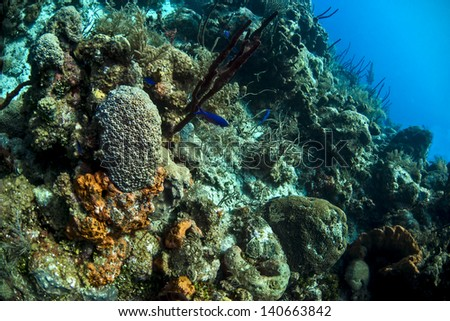 A peacock wrasse and the blue chromis swimming over the reef in the Cayman islands - stock photo