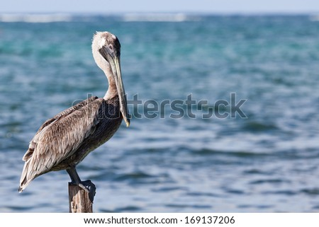 A pelican sits on a pylon post with the sunshine on its back and the blue waters of the Caribbean Ocean behind him. - stock photo