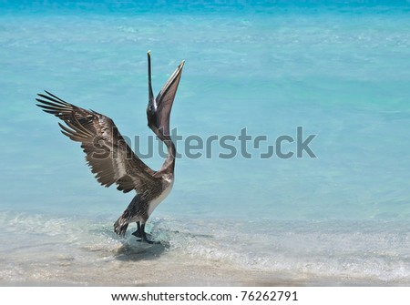 A pelican stretches and dances in the sunlight. - stock photo