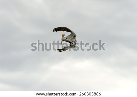 A Pelican takes up a beautiful flying position against a bright sky. - stock photo