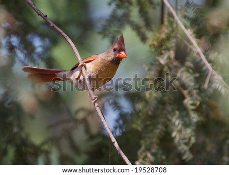 A perched female northern cardinal.