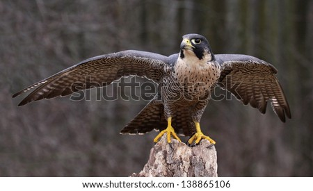 A Peregrine Falcon (Falco peregrinus) spreading it's wings while perched on a stump.  These birds are the fastest animals in the world.  - stock photo