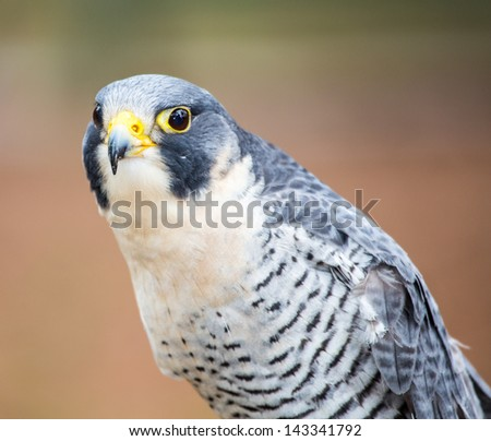 A Peregrine Falcon poses for the camera at the Carolina Raptor Center.