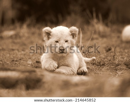 A perfect portrait of a tiny young white lion cub in sepia tone. - stock photo