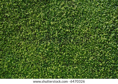 A perfectly manicured hedge of trained ficus creating a flat plane of leaves - stock photo