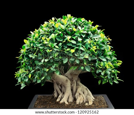 A Perfectly Shaped Bonsai Tree Suitable For Contemplation - stock photo