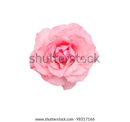 A perfume rose isolated white - stock photo