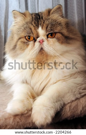 A persian cat poses for photo