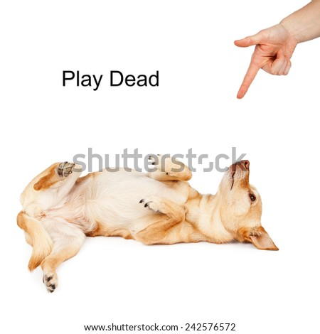 A person giving a hand signal to a little Chihuahua mixed breed dog for the command of Play Dead  - stock photo