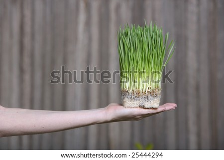 A person holds a bunch of young grass sorputs - stock photo