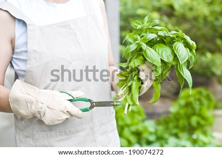 A person wearing gardening gloves holding a bunch of fresh basil. - stock photo