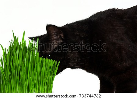 A pet black cat eating fresh grass, on a white background.