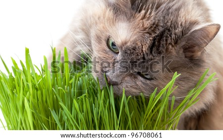 A pet cat eating fresh grass, on a white background. - stock photo
