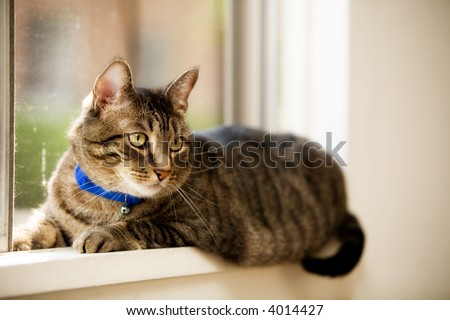 A pet cat laying in a window.  Shallow depth of field with focus on eyes. - stock photo