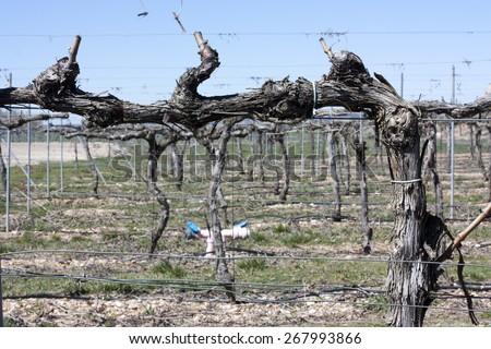 A photo of a dry vine, taken in the Ribera del Duero (Duero Valley) un Spain in April, 2015 - stock photo