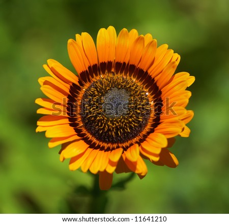 A photo of a large African sunflower - stock photo