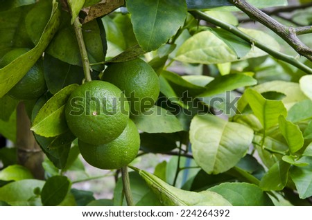 A photo of a lemon tree - stock photo