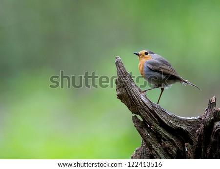 A photo of a Robin Bird - stock photo