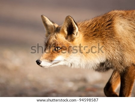 A Photo of a wild fox in The Netherlands